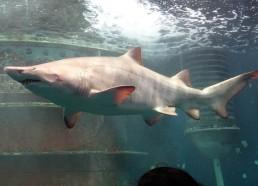 Le plus gros requin de l'aquarium
