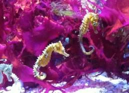 Les hippocampes dorés