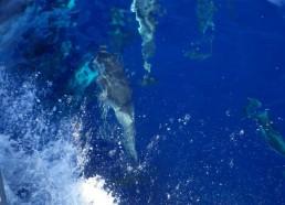 Quelques dauphins s'amusent avec le bateau