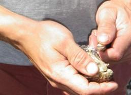 L'ouverture de l'huître