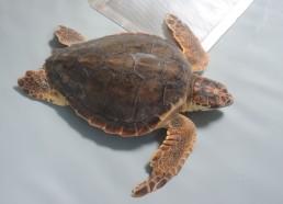 Perle, jeune tortue de 3 ans, soignée au CESTMed