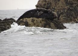 Phoque attendant la marée sur un reposoir