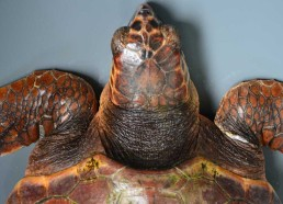 Une tortue caouane