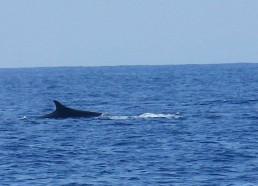 Observation de baleine dans le sanctuaire Pélagos